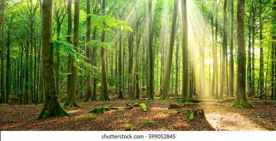 Naturwald des Buchenwaldes, beleuchtet durch den Nebelwald