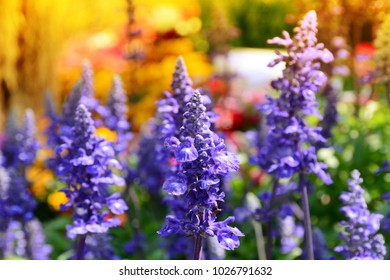 Natural blue flowers common name is Blue Salvia over colorful flowers with warm light background , Soft focus.