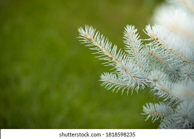 Natural blue spruce in the park against a background of green grass. Closeup of mint spruce branches in sunlight