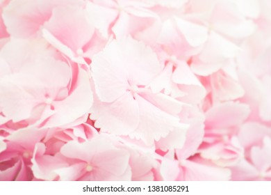 natural blurred background, pink hydrangea flower close up