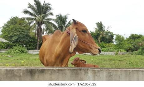 Natural cattle raising in Thailand