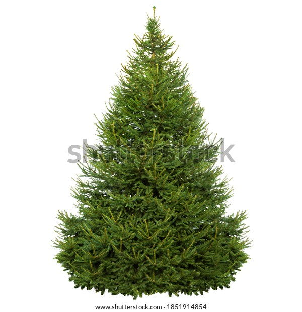 Natural Christmas tree isolated on white. Green spruce on isolated white background. Green Pine isolated