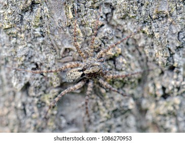 Natural closeup macro of Polish wolf spider on wooden background. Pardosa Spp