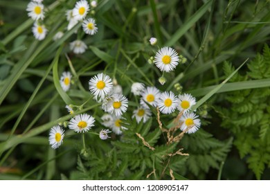 a natural closeup  wallpaper fuilled frame shot of camomille daisy flowers, green herbs and leaves on a blurred bokeh background in the middle of a field in the Normafa forest of Budapest, Hungary
