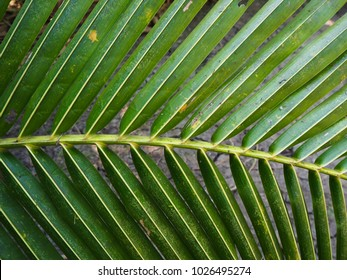 Natural coconut leaves.