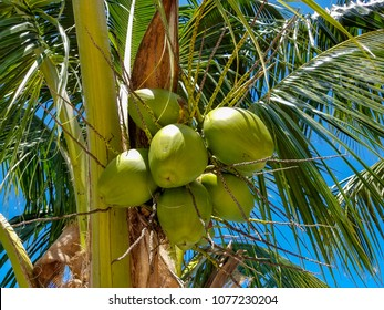 Natural coconuts in the Caribbean