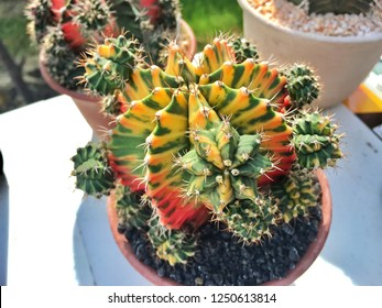 Natural colorful cactus for decoration