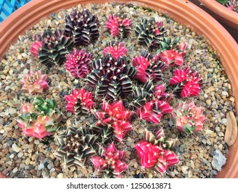 Natural colorful cactus in pot for garden decoration