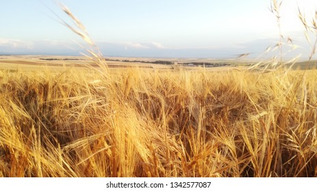 Natural colors of the plant yellow and gold. Landscape of barley cultivation a sunny afternoon in the center of Spain. Cereal horizon. Agricultural area of grain. European countryside.