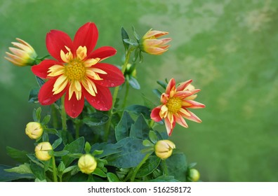 Natural composition of red and yellow dahlias growing in summer garden