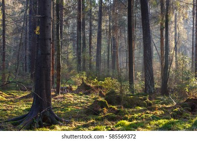 Natural coniferous stand of Landscape Reserve in morning with sunlight entering, Bialowieza Forest,Poland,Europe
