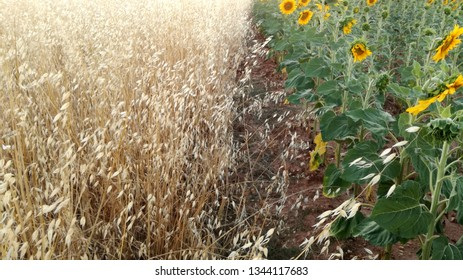 Natural contrast colors of yellow and green plants. Agricultural landscape in Spain. The harvest ripens under the sun's rays. Light and warm atmosphere. Field sown with grain, sunflowers and cereal.