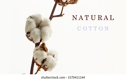 Natural Cotton Branch  with cotton bolls,isolated on white.The branch dried as came from field.Natural cotton writing near with big size letters in English.