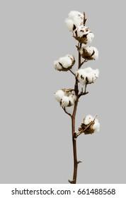 Natural Cotton Brande mit sieben Baumwollboll.Der Ast getrocknet, wie er aus dem Feld kommt.Vertikales Bild