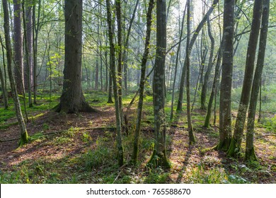 Natural deciduous stand  in autumnal morning mist, Bialowieza Forest, Poland, Europe