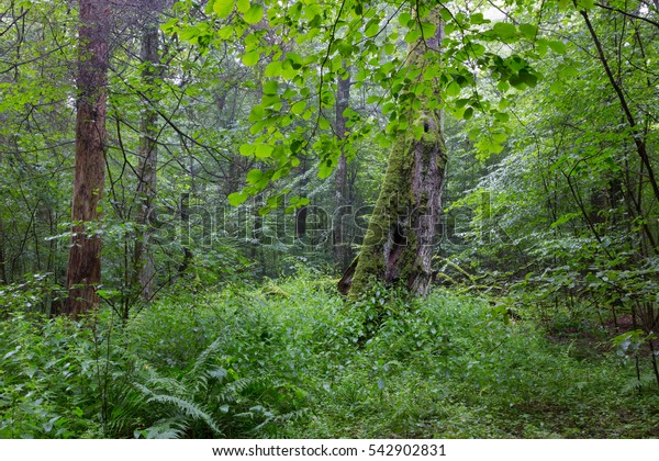 Natural deciduous stand of Bialowieza Forest with some old trees and ferns,Bialowieza Forest,Poland,Europe