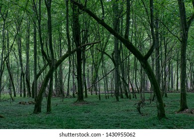 Natural deciduous stand in spring with e few bent hornbeam trees,Bialowieza Forest,Poland,Europe