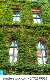 Natural decorations. Ivy plant on wall of building. Green leaves surface with windows. Decorated with ivy. Green ivy wall. Growing ivy or other climbers up building wall can have many benefits.