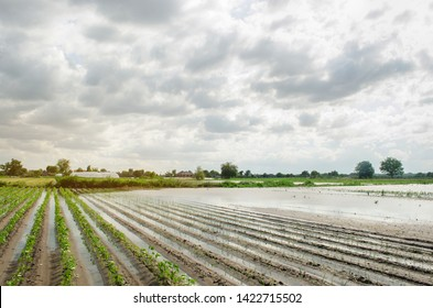 Natural disaster on the farm. Flooded field with seedlings of pepper and leek. Heavy rain and flooding. The risks of harvest loss. The flood. Agriculture. Ukraine, Kherson region. Selective focus