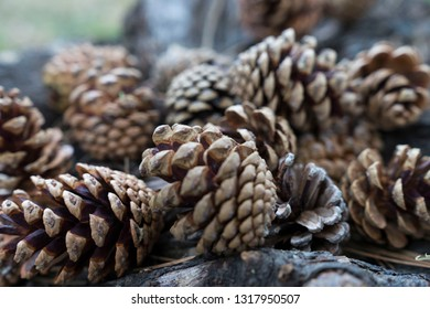Natural dry pinecones lying nex to a tree