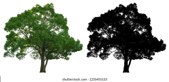 natural evergreen leaves tree with black alpha mask isolated on white background.