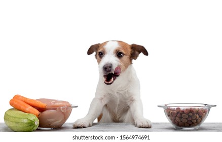 Natural feeding for dogs. Jack Russell Terrier chooses a meal. Raw food and dry food.