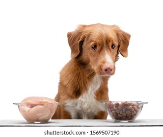 Natural feeding for dogs. Nova Scotia Duck Tolling Retrieverr chooses a meal. Raw food and dry food for pet.
