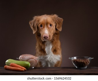 Natural feeding for dogs. Nova Scotia Duck Tolling Retrieverr chooses a meal. Raw food and dry food for pet