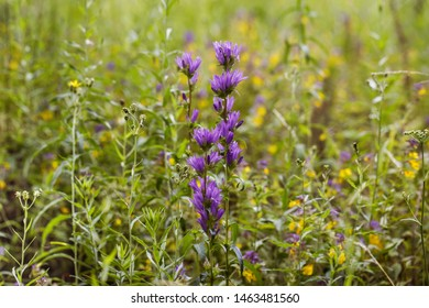Natural field background. Campanula glomerata, bluebell, campanula in the field. Beautiful summer meadow background. Summer wildflowers on a Sunny day
