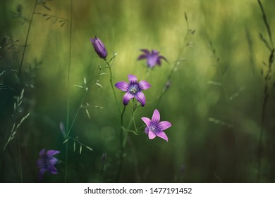 Natural field background. Campanula patula, bluebell, campanula in the field. Beautiful summer meadow background. Summer wildflowers on a sunny day.