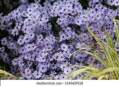 Natural floral background with Blue Wood Aster, Blue Heart-leaved Aster, Starwort 'Little Carlow' (Symphyotrichum cordifolium) and a bee on the flower