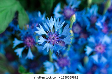Natural floral background of bluet corn flowers close-up
