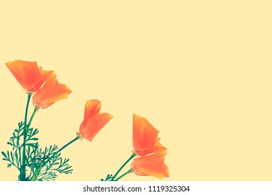 Natural floral background. Bright colorful eschscholzia flowers.