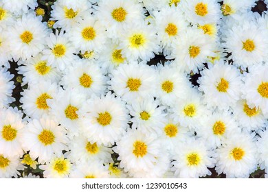 Natural floral background with Chrysanthemum flower blossoms