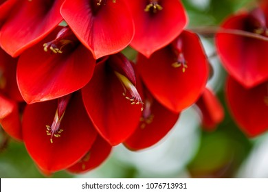 natural floral background of showy red flowers of Erythrina crista-galli, cockspur coral tree