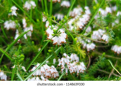 White Bell Shaped Flowers Images Stock Photos Vectors Shutterstock