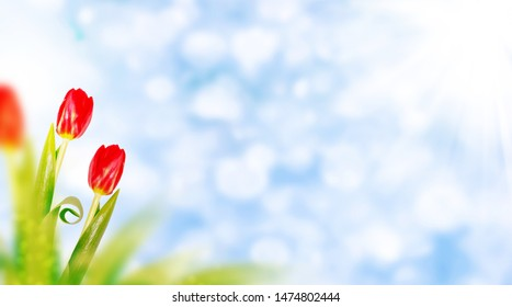 Natural floral background of spring bright flowers. tulip
