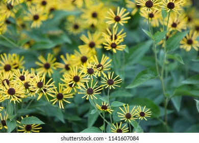 Natural floral background with Yellow Black-Eyed Rudbeckia 'Little Henry' (Asteraceae) is blooming in the botanical garden and green foliage, soft focus.