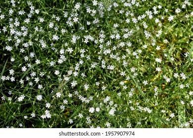 Natural floral pattern with many small white flowers of the lesser stitchwort among thin green stems and leaves. Wild spring summer flowers texture