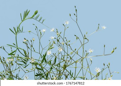 Natural floral pattern of stalks of lesser stitchwort with a small white florets and buds, isolated on light blue. Shrub of tender meadow flowering wild plant. Raster clipart for design
