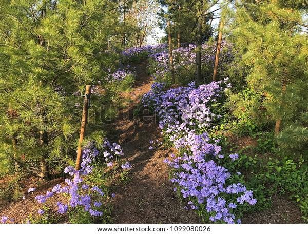 Natural Floral Pine Tree Landscape Purple Stock Photo Edit Now