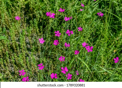 Natural floral texture with many small pink Dianthus pratensis flowers on a green grass background. Meadow flowering vegetation close-up