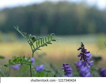 Natural florest flowers in Estonia