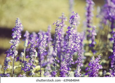 Natural flower background, Amazing nature view of purple flowers blooming in garden under sunlight at the middle of summer day,Blue salvia in garden Purple.