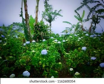Natural Flower Garden Deciduous Shrub Hydrangea Macrophylla At Munduk Village, North Bali, Indonesia