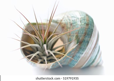 Natural flower in a the shell ( Tillandsia ionantha )
