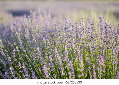 Natural flower soft focus background. Amazing nature closeup of purple lavander flowers blooming in garden under sunlight at the middle of summer day.