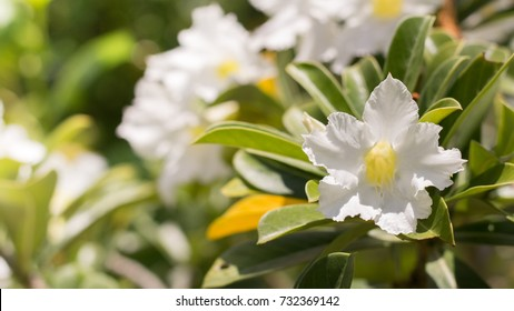 natural flowers Azalea flowers. Impala Lily or Desert Rose or Mock Azalea, beautiful white flower in garden.