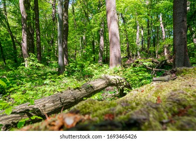Natural forest - beech forest in the Hainich national Park