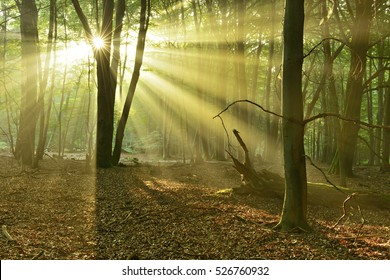 Natural Forest of Beech and Oak Trees illuminated by Sunbeams through Fog